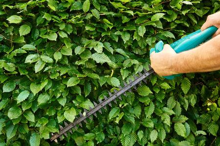 Cutting a hedge, gardening Stock Photo