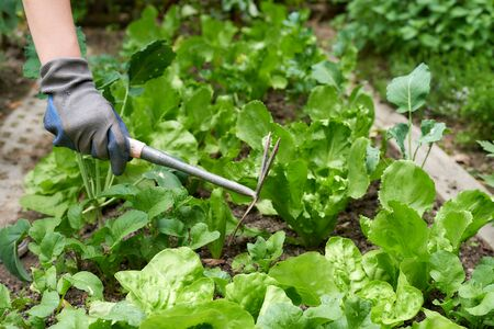 Close up woman hands hoeing the vegetable garden Stock Photo
