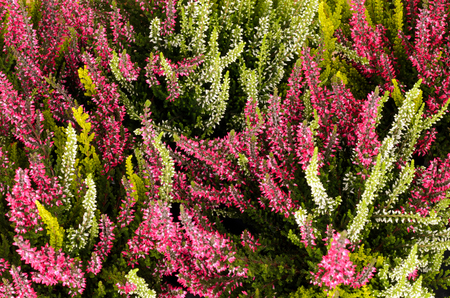 ericaceae: Pink and white heather (Calluna vulgaris)