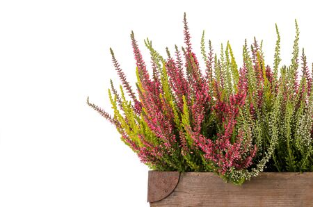 ericaceae: Pink and white heather (Calluna vulgaris) on white background Stock Photo
