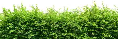 wall decoration: Hedge isolated on white background