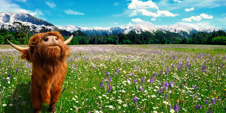 Summer landscape with a cow on fresh green pastures with flowers and mountains in the background