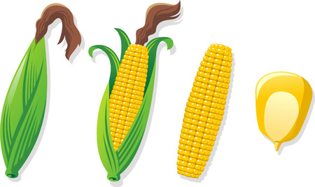 Corn growth process vector cartoon illustration Vettoriali