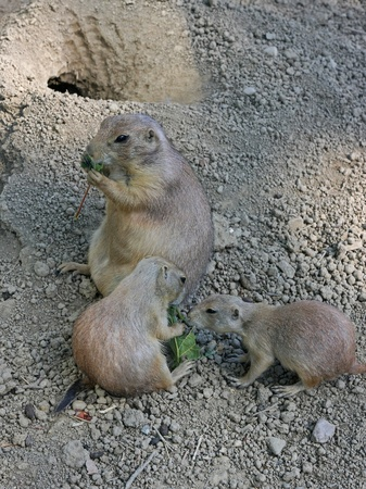charmingly: Marmot family at lunch