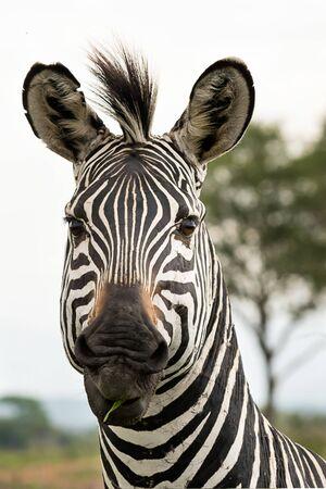 Zebra portrait in the savannah Фото со стока