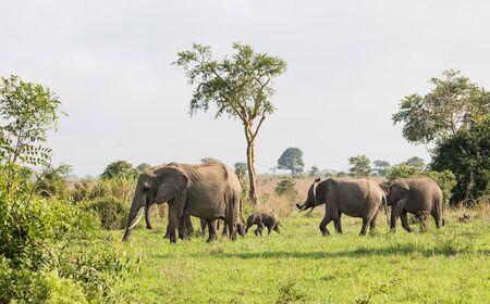 Wild elephants in the African savanna