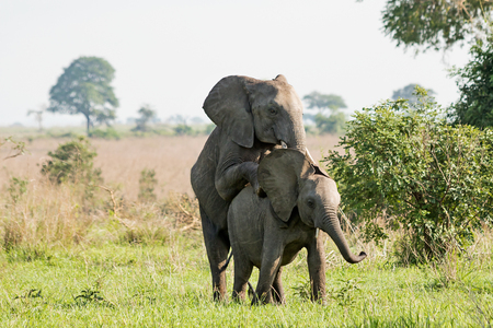 Elephants mating in the African savanna