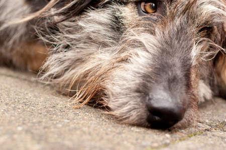 Irish Hound photo