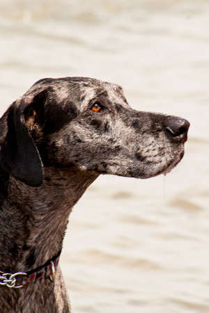 Attentive Old Dog at Beach photo