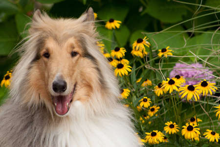 Happy Collie Sitting with Flowers photo