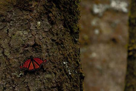 Single Monarch Butterfly On Tree photo