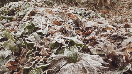 The first frost covered the forest leaves with frost.