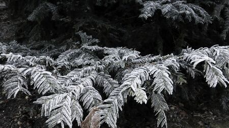 White frost covered the coniferous branches of trees. 스톡 콘텐츠