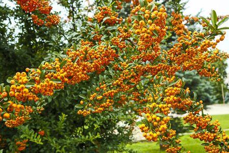 Bright orange sea buckthorn berries close-up.