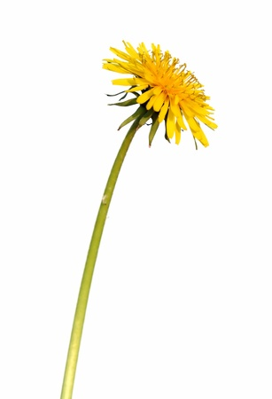 pappus: Dandelion s yellow flower with pedicle, isolated on white Stock Photo