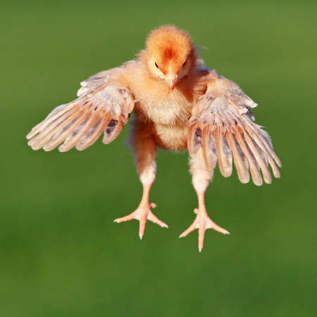 The young yellow flying chicken in the fly Stock Photo - 12774581