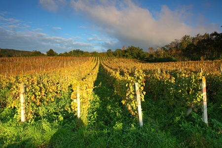 Rows of vines to sunset with clouds Stock Photo