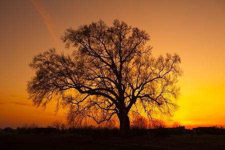 Alte Eiche in der gelb - orange Sonnenuntergang
