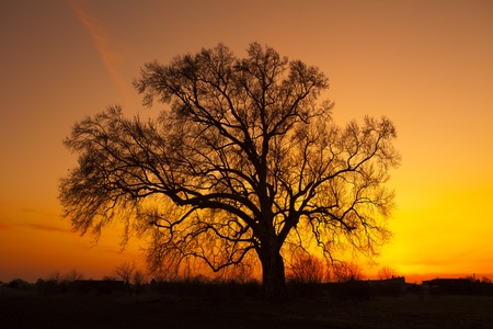arboles secos: Viejo roble en el amarillo - naranja puesta de sol