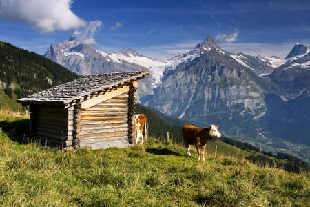 Swiss cow with large hills in the background photo