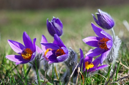 The purple Pulsatilla grandis in the green grass  photo