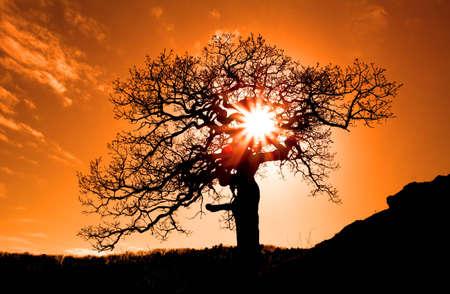 arboles secos: El viejo roble en el atardecer con el sol Foto de archivo