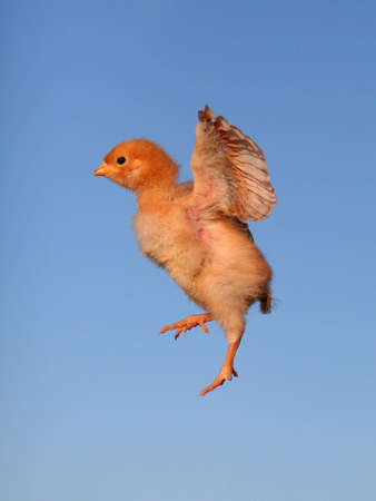 The Flying chicken with a blue background photo