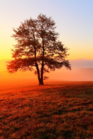 Alone tree on meadow at sunset with sun and mist - panorama photo