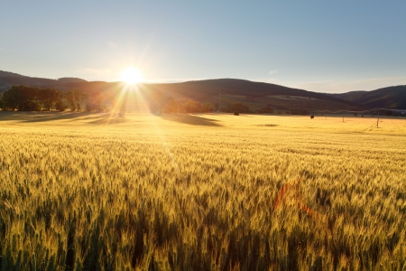 Sunset over wheat field  photo