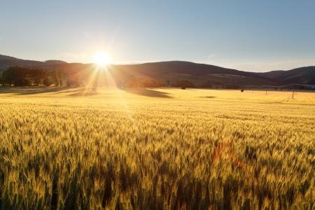 Sunset over wheat field Stock Photo - 16217973