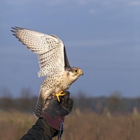 cherrug: White Falco cherrug starts