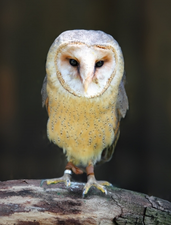 nocturnal: Barn - Tyto alba - owl posing on branch Stock Photo
