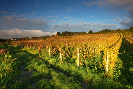vinery: Beautiful Vineyard Landscape with road