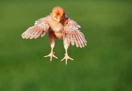 Flying chicken photo