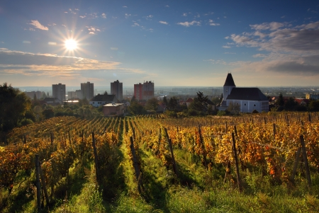 slovakia: Filari di viti a sunrise a Bratislava - Raca
