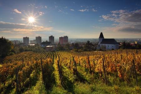 Rows of vines to sunrise in Bratislava - Raca