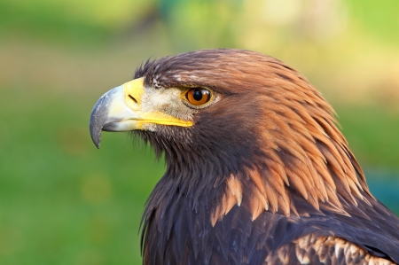 Portrait of a Golden Eagle  Aquila chrysaetos  photo