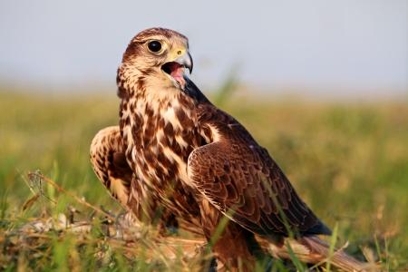 cherrug: Falco cherrug