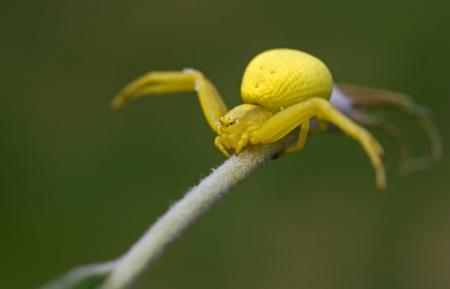 vatia: Yellow spider on a green grass  Misumena vatia Stock Photo