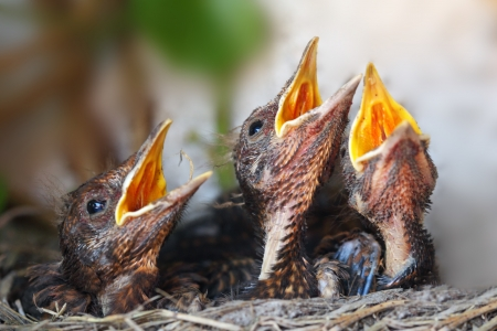 bird nest: Bird nest with young birds - Eurasian Blackbird