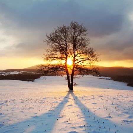 january sunrise: �rbol solo en el prado en invierno con los rayos del sol