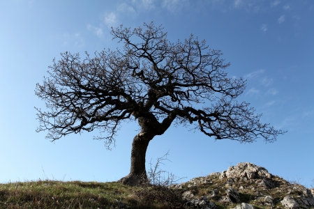 oak tree: Alone tree with sun and color  sky