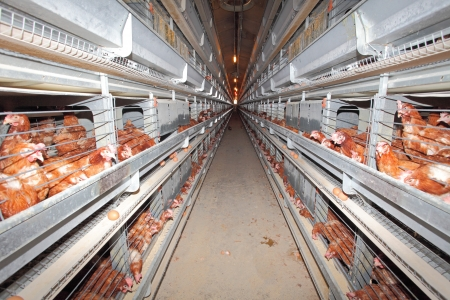 granja avicola: Granja de pollo - interior Editorial