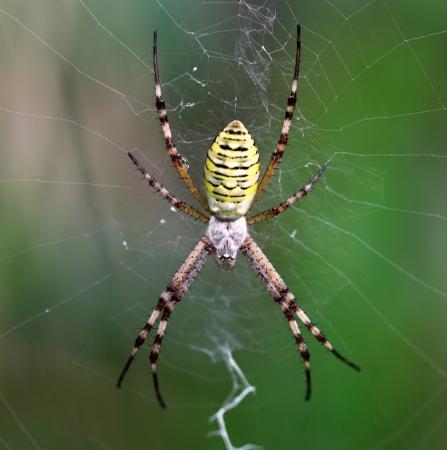 European white - yellow spider with green background   Argiope bruennichi Stock Photo - 17625669