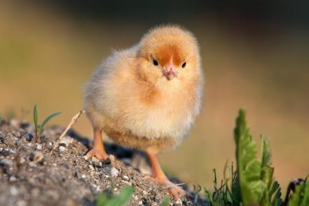 gallina con huevos: Un polluelo del bebé en verde