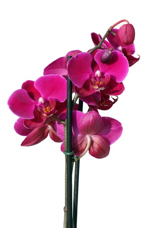 carpel: Pink orchid