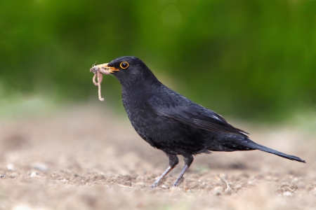 Eurasian Blackbird - male Turdus merula photo