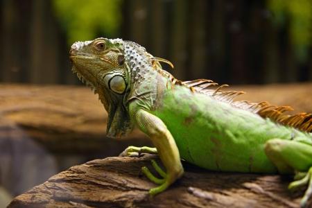 iguana verde en la rama de un árbol