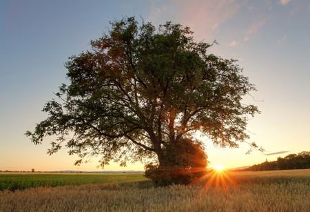 oak tree standing in the wheat field on sunset photo
