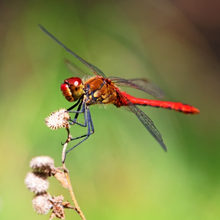 dragonflies: A red dragonfly at rest Sympetrum vulgatum
